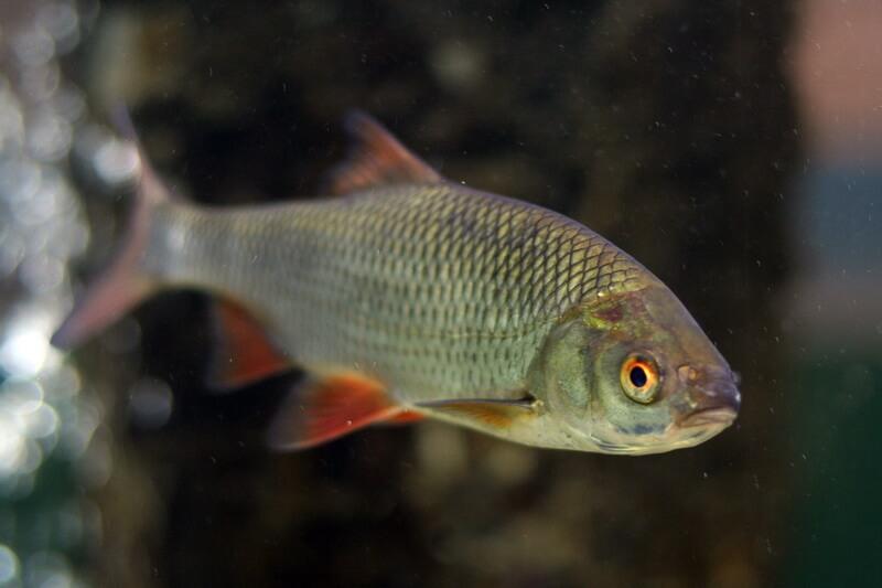красноперка фото рыбы