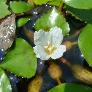 Листья и цветок водяного ореха