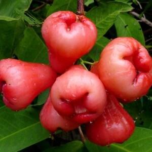 Плоды чомпу