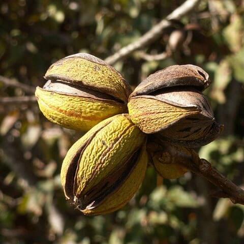 Полезные свойства ореха пекан