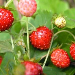 Плоды земляники