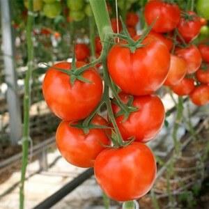 Полудетерминантные сорта томатов