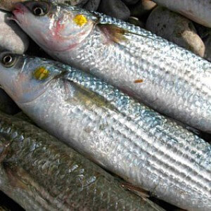 Рыба семейства Кефалевых