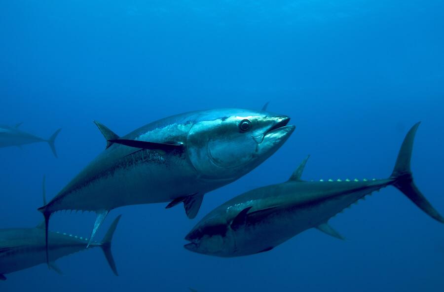Польза и вред тунца. Польза консервированного тунца