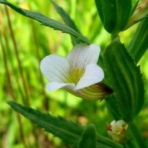 Ядовитое растение авран