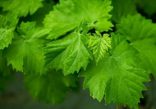 Виноградный лист (20 фото): заготовка зелени винограда на зиму, польза и вред продукта, рецепт консервированной листвы