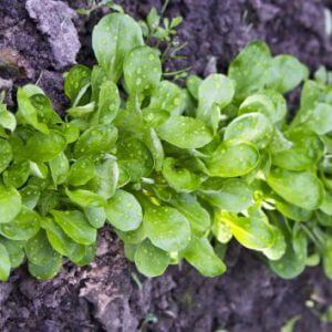 Плоды растения корн