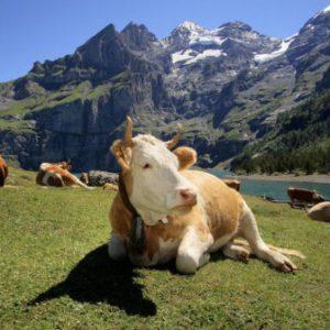 Содержание коров в Альпах
