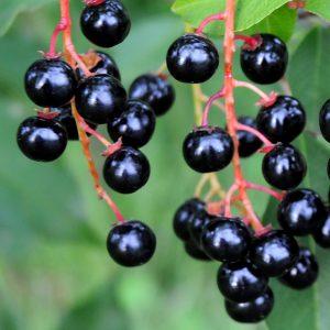 Плоды черемухи