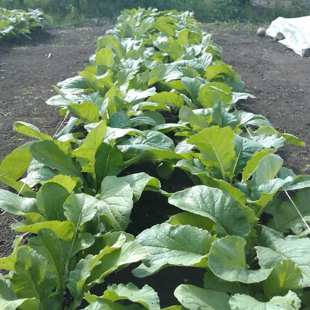 Дайкон выращивание и уход фото