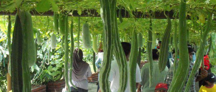 Выращивание трихозанта