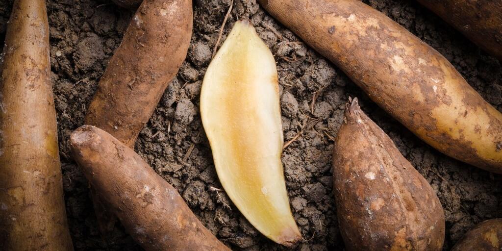 Якон ценное растение выращивание иуход