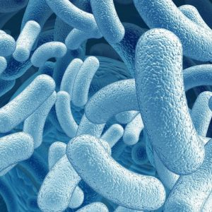 Лактобациллы
