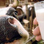 Вред парного молока: эпидемиологи бьют тревогу