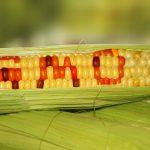 Генетически модифицированная кукуруза на самом деле полезна для здоровья человека – ученые