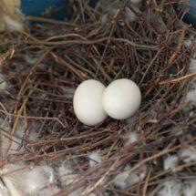 Яйцо голубиное